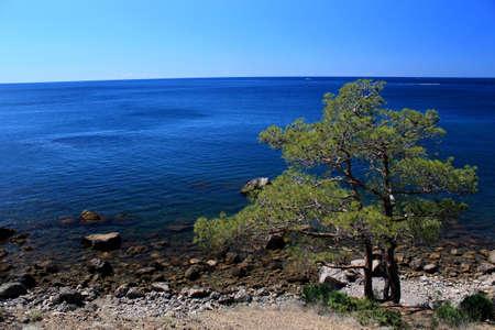 lone pine: �rbol de pino solitario en la playa de piedra cerca de Yalta, en Crimea, Ucrania