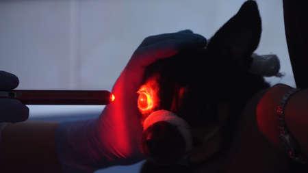 獣医眼科医は、犬の目をチェックします, 生物顕微鏡.眼の生体顕微鏡は、スリットランプの助けを借りて眼環境を調べる方法である。獣医は、獣医