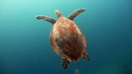 Sea turtle swimming underwater in the sea. Turtle moves its flippers in the ocean under water in the rays of the sun. Wonderful and beautiful underwater world. Diving and snorkeling the tropical sea. Philippines.