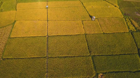 Rice field with yellowish green grass. Aerial view: rice plantation. Terrace rice field from aerial view. Philippines, Camiguin.