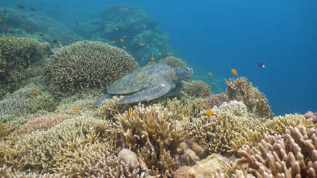 Sea turtle swimming underwater over corals. Sea turtle moves its flippers in the ocean under water. Wonderful and beautiful underwater world. Diving and snorkeling in the tropical sea. Philippines. Stock fotó