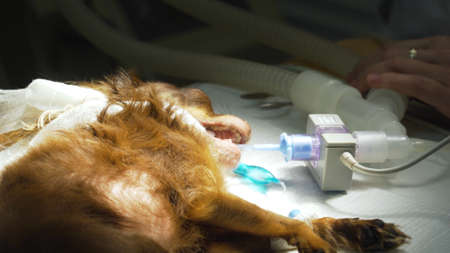 Veterinarian surgeon does an internal anesthetic for a dog in a veterinary clinic. Anesthesiologist prepares the dog for surgery. Stock Photo