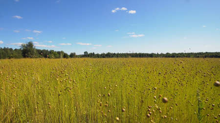 Maturing flax in a large field, almost ready to harvest. Flax field in Summer. Field of golden flax seeds. 版權商用圖片