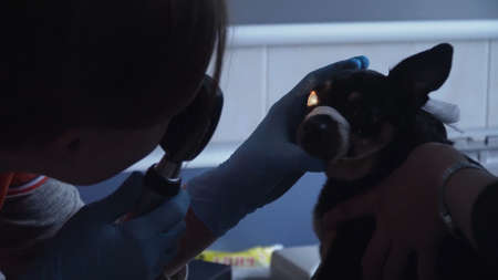 Veterinarian ophthalmologist checks the eyes of a dog, biomicroscopy. Biomicroscopy of the eye is method of examining the eye environments with the help of slit lamp. Veterinarian doing medical proced 写真素材