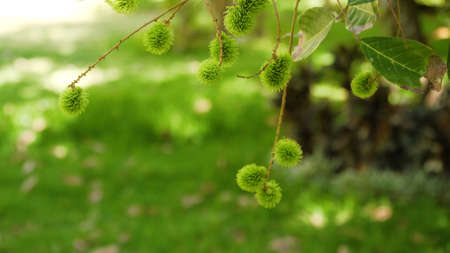 fruits green rambutan on tree. Tropical fruit rambutan fruits Nephelium lappaceum in garden