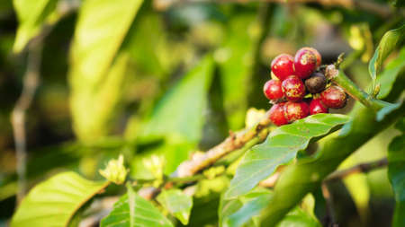 coffee beans ripening on branch coffee tree. coffee farm and plantation on indonesia. red coffee berries Standard-Bild - 115257391