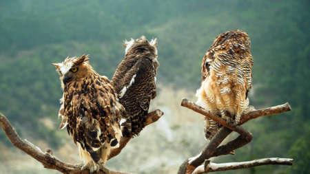three javanese owls on dry tree branch. owls living on Dieng plateau on island Java, Indonesia Standard-Bild - 115257532