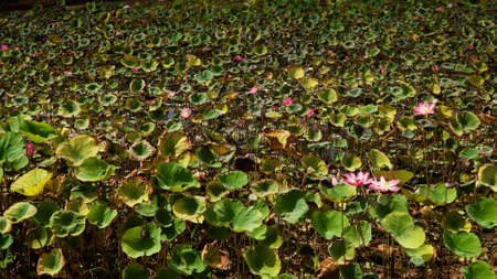 Pink lotus flower plant on lake. Pink lotus flower blooming in river Standard-Bild - 115257534