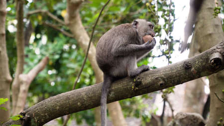 Monkey macaque in the rain forest. Monkeys in the natural environment. Bali, Indonesia. Long-tailed macaques, Macaca fascicularis Standard-Bild - 115257646