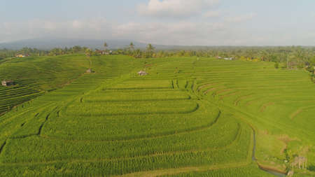 rice terrace and agricultural land with crops. aerial view farmland with rice fields agricultural crops in countryside Indonesia,Bali Standard-Bild - 115258193