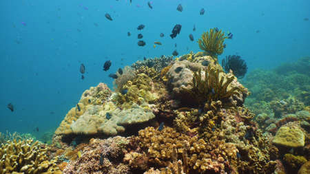 Tropical fishes and coral reef at diving. Underwater world with corals and tropical fishes. Camiguin, Philippines.