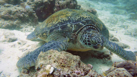 Green sea turtles underwater during diving. Diving and snorkeling in the tropical sea.