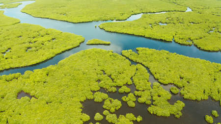 Mangrove green forests with rivers and channels on the tropical island, aerial drone. Mangrove landscape.