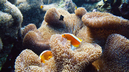 Clown fish and sea anemone, natural symbiosis. Coral reef with fishes. Tropical underwater sea fishes. Zdjęcie Seryjne