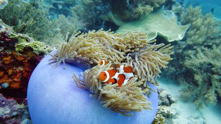 Payaso Anemonefish y anémona en el arrecife de coral. Mundo submarino con corales y peces tropicales.