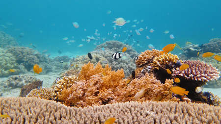 Tropical fishes and coral reef underwater. Hard and soft corals, underwater landscape. Leyte, Philippines.