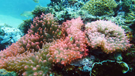 Sea anemone and clown fish on the coral reef, tropical fishes. Underwater world diving and snorkeling on coral reef. Hard and soft corals underwater landscape Zdjęcie Seryjne