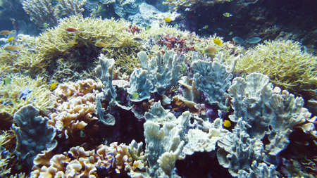 Underwater fish garden reef. Reef coral scene. Seascape under water. Leyte, Philippines.