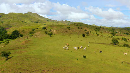 Cows graze in the mountain meadows. Hills with green grass and blue sky with white puffy clouds. Beautiful landscape on the island of Luzon, aerial view. Zdjęcie Seryjne