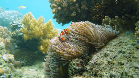 A Clown Anemonefish sheltering among the tentacles of its sea anemone. Underwater world with corals and tropical fishes