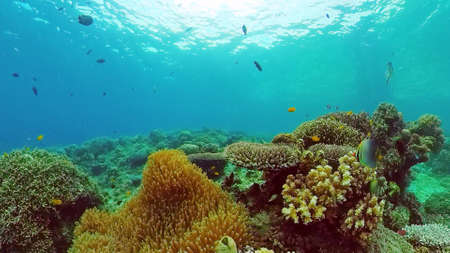 Tropical fishes and coral reef, underwater footage. Seascape under water. Panglao, Bohol, Philippines.