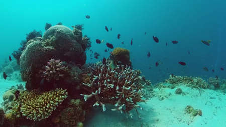 Beautiful underwater landscape with tropical fishes and corals. Life coral reef. Panglao, Bohol, Philippines.