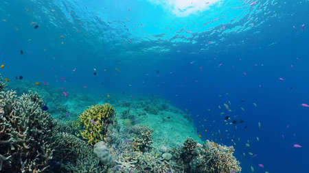 Coral garden seascape and underwater world. Colorful tropical coral reefs. Life coral reef. Panglao, Bohol, Philippines.