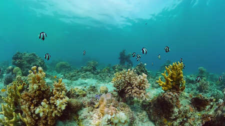 Reef Coral Scene. Tropical underwater sea fish. Hard and soft corals, underwater landscape. Panglao, Bohol, Philippines.