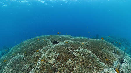 Coral reef underwater with tropical fish. Hard and soft corals, underwater landscape. Travel vacation concept. Panglao, Bohol, Philippines. Zdjęcie Seryjne