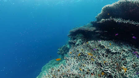 Coral reef and tropical fishes. The underwater world of the Philippines. Panglao, Bohol, Philippines. Zdjęcie Seryjne