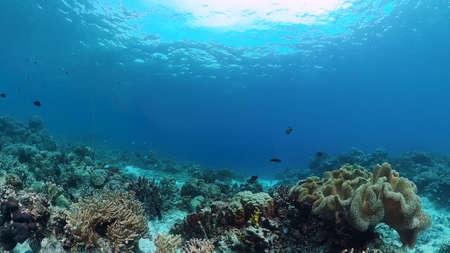 Underwater Scene Coral Reef. Underwater sea fish. Tropical reef marine. Colourful underwater seascape. Panglao, Bohol, Philippines. Zdjęcie Seryjne