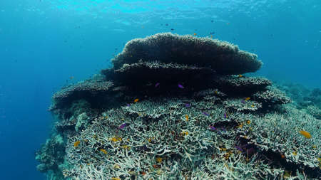 Beautiful underwater world with coral reef and tropical fishes. Panglao, Bohol, Philippines. Travel vacation concept