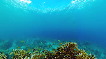 Tropical sea and coral reef. Underwater Fish and Coral Garden. Underwater sea fish. Tropical reef marine. Colourful underwater seascape. Panglao, Bohol, Philippines.