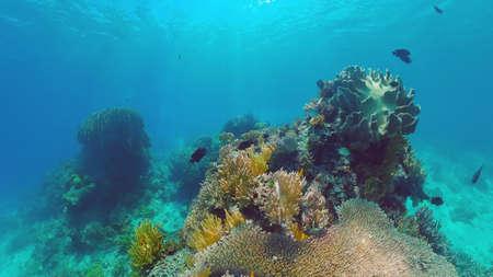 Tropical Fish Corals Marine Reef. Underwater Sea Tropical Life. Tropical underwater sea fishes. Underwater fish reef marine. Tropical colorful underwater seascape. Panglao, Bohol, Philippines.