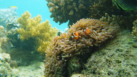 Sea anemone and clown fish on the coral reef, tropical fishes. Underwater world diving and snorkeling on coral reef. Hard and soft corals underwater landscape Banque d'images