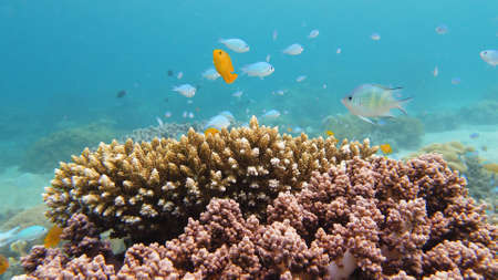 Coral reef underwater with fishes and marine life. Coral reef and tropical fish. Leyte, Philippines.