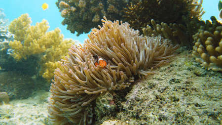 Clown fish and sea anemone, natural symbiosis. Coral reef with fishes. Tropical underwater sea fishes. Banque d'images