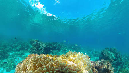 Beautiful underwater world with coral reef and tropical fishes. Panglao, Philippines. Travel vacation concept