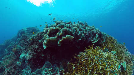 Tropical Fishes on Coral Reef, underwater scene. Panglao, Philippines.