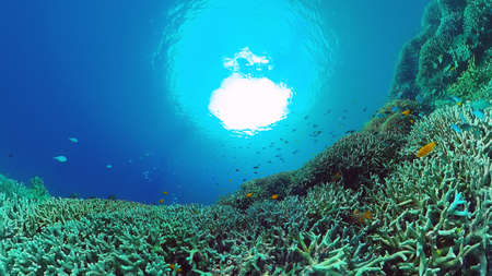 Coral garden seascape and underwater world. Colorful tropical coral reefs. Life coral reef. Panglao, Bohol, Philippines. Banque d'images