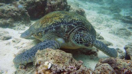 Green sea turtles underwater among corals. Wonderful and beautiful underwater world.
