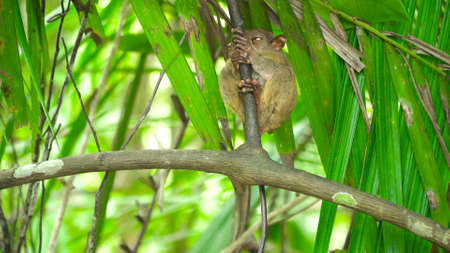 Small tarsier on a branch in a tropical forest. Bohol, Philippines.