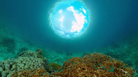 Tropical fishes and coral reef at diving. Beautiful underwater world with corals and fish. Philippines. Standard-Bild
