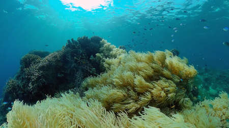 The underwater world of coral reef with fishes at diving. Coral garden under water. Philippines.