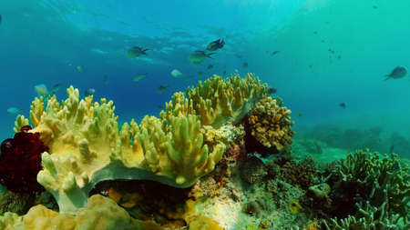 Sealife, Diving near a coral reef. Beautiful colorful tropical fish on the lively coral reefs underwater. Philippines.