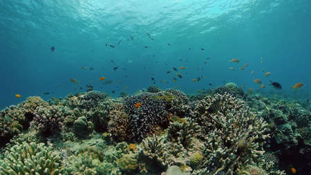 Coral reef and tropical fishes. The underwater world of the Philippines. Philippines.