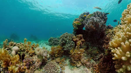 Underwater Scene Coral Reef. Tropical underwater sea fishes. Philippines. Stock fotó