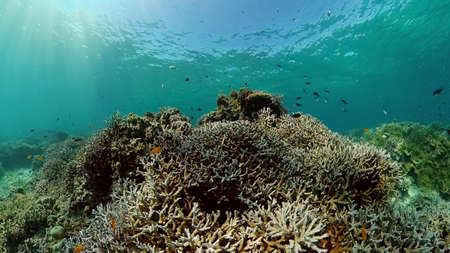 The underwater world of coral reef with fishes at diving. Coral garden under water. Philippines. Stok Fotoğraf - 168138048