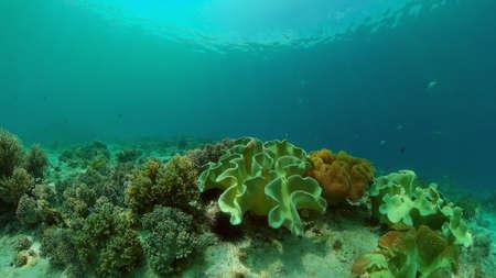 Underwater tropical colourful soft-hard corals seascape. Underwater fish reef marine. Philippines.