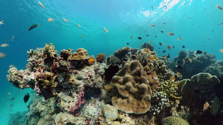 Reef Coral Tropical Garden. Tropical underwater sea fish. Colourful tropical coral reef. Philippines.